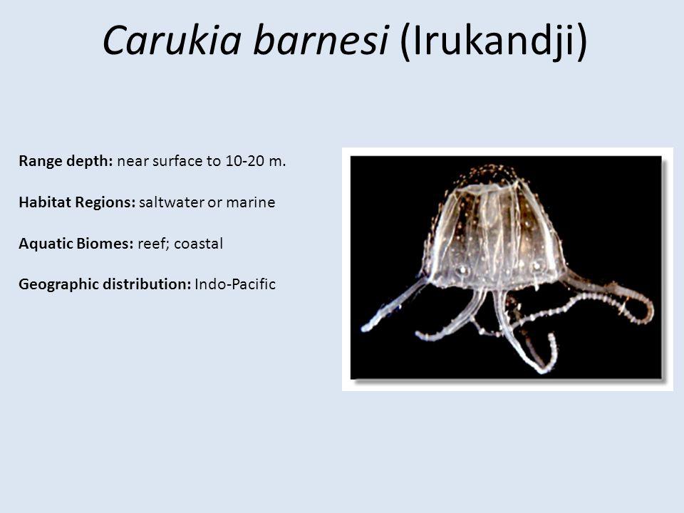 Carukia barnesi (Irukandji)