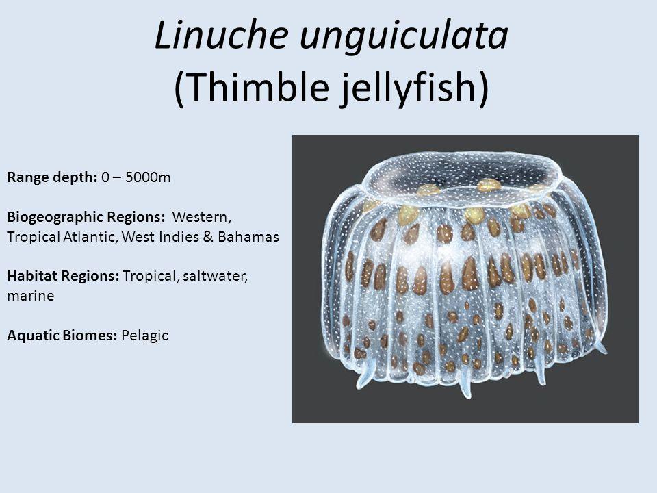Linuche unguiculata (Thimble jellyfish) Range depth: 0 – 5000m