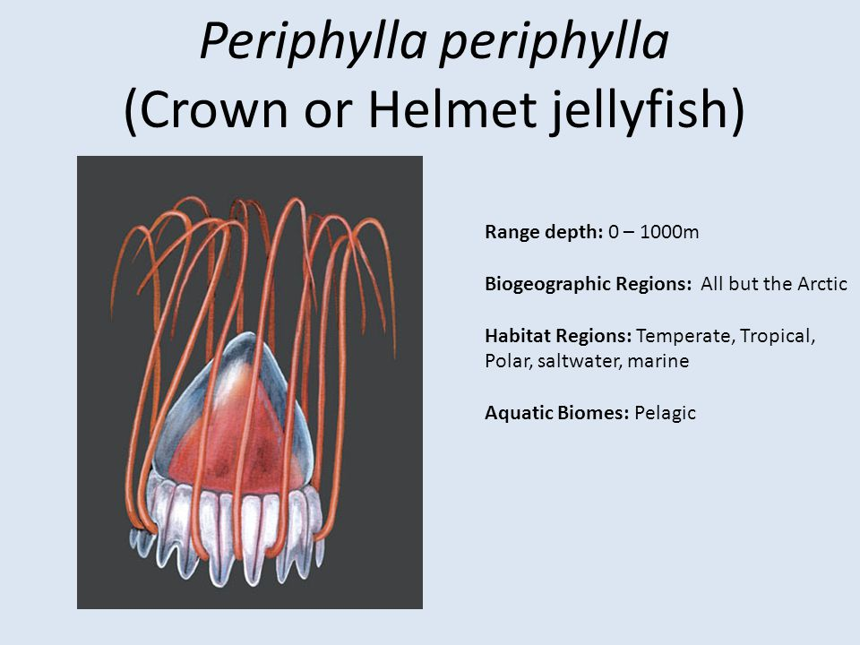 Periphylla periphylla (Crown or Helmet jellyfish)