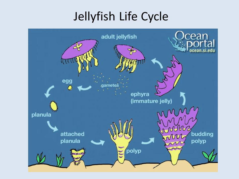 Jellyfish Life Cycle Image: