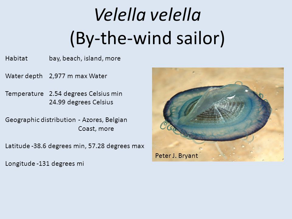 Velella velella (By-the-wind sailor) Habitat bay, beach, island, more