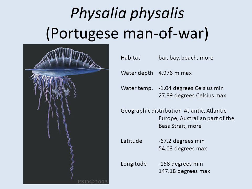 (Portugese man-of-war)