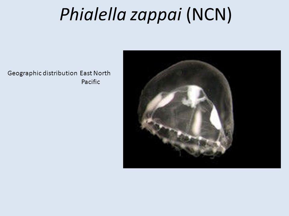 Phialella zappai (NCN)