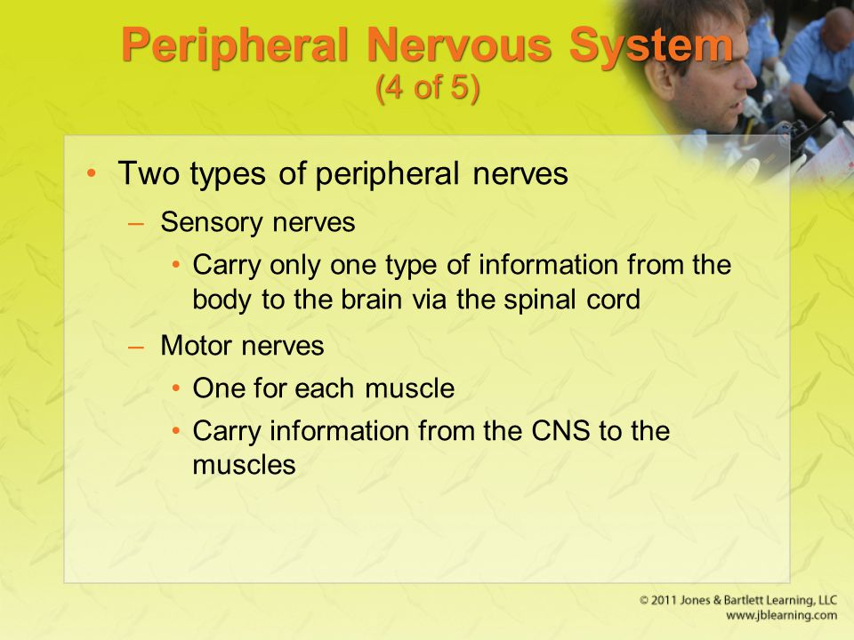 Peripheral Nervous System (4 of 5)