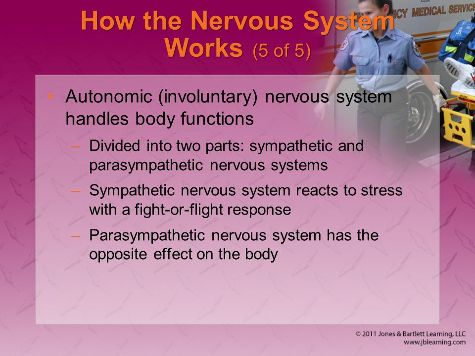 How the Nervous System Works (5 of 5)