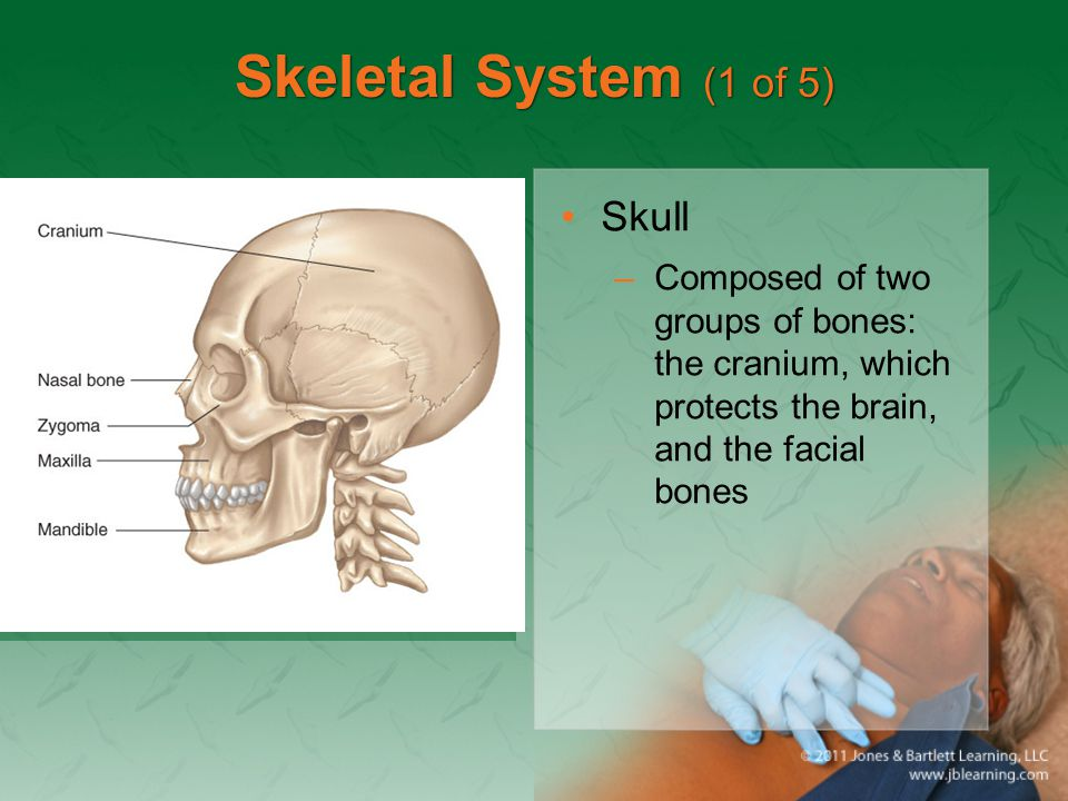 Skeletal System (1 of 5) Skull