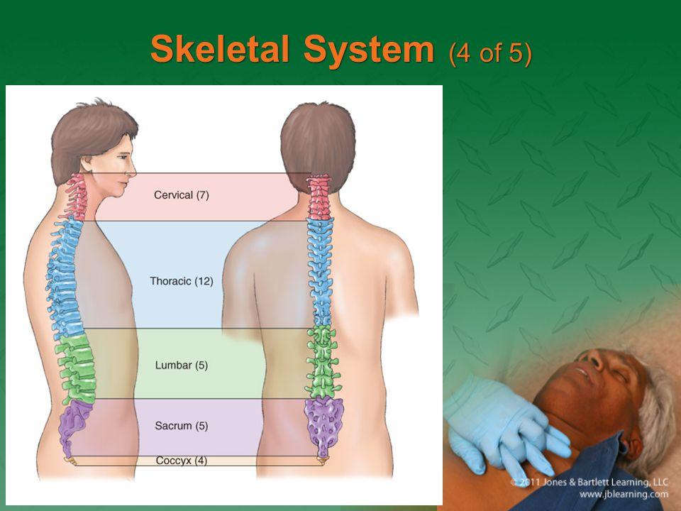 Skeletal System (4 of 5)