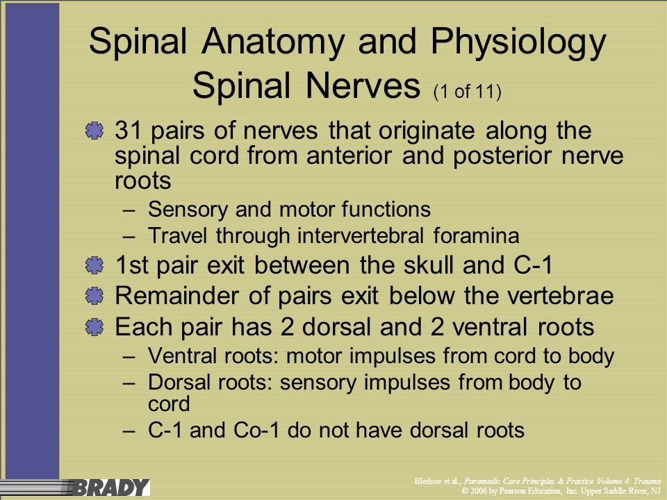 Spinal Anatomy and Physiology Spinal Nerves (1 of 11)