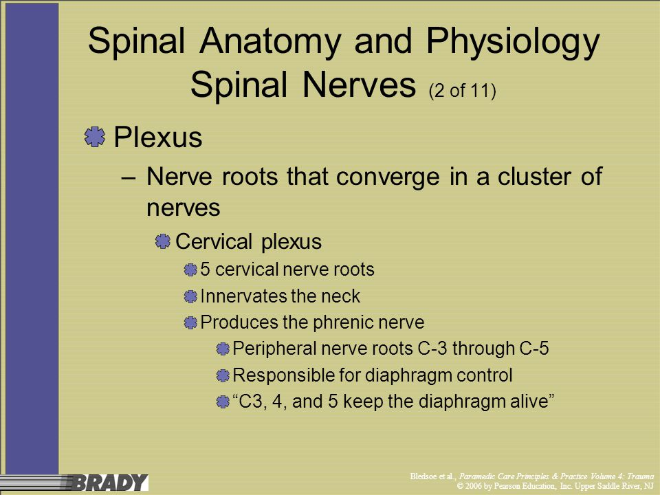 Spinal Anatomy and Physiology Spinal Nerves (2 of 11)