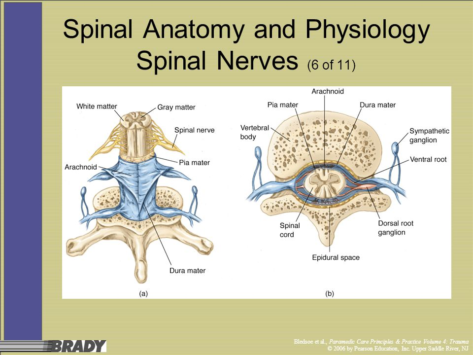 Spinal Anatomy and Physiology Spinal Nerves (6 of 11)