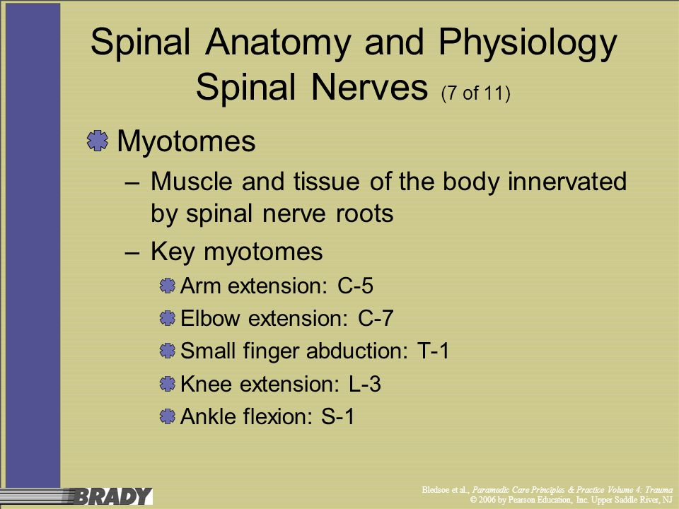 Spinal Anatomy and Physiology Spinal Nerves (7 of 11)