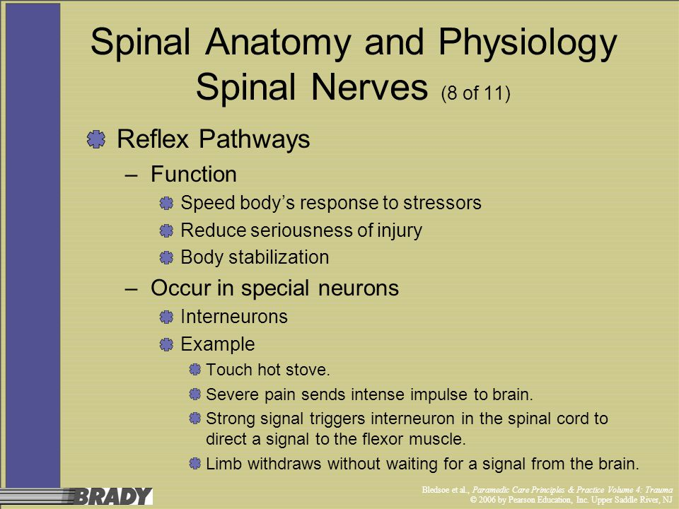 Spinal Anatomy and Physiology Spinal Nerves (8 of 11)
