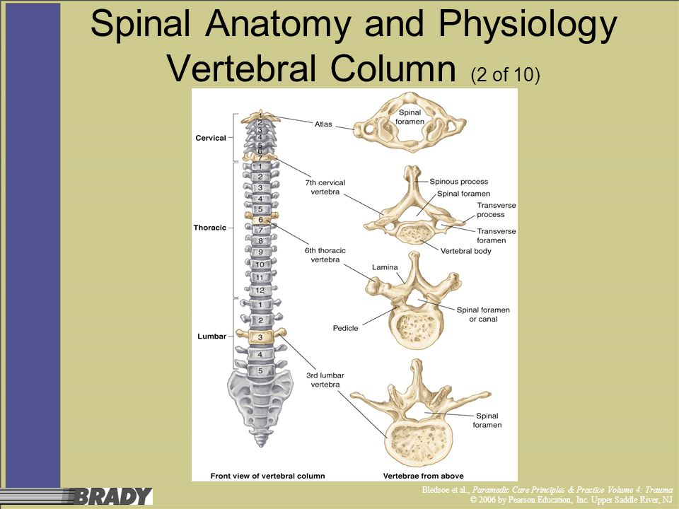 Spinal Anatomy and Physiology Vertebral Column (2 of 10)