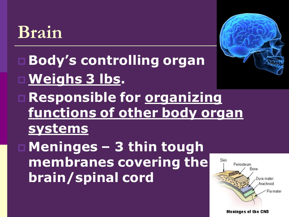 Brain Body's controlling organ Weighs 3 lbs.
