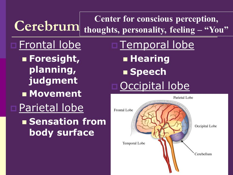 Cerebrum Frontal lobe Parietal lobe Temporal lobe Occipital lobe
