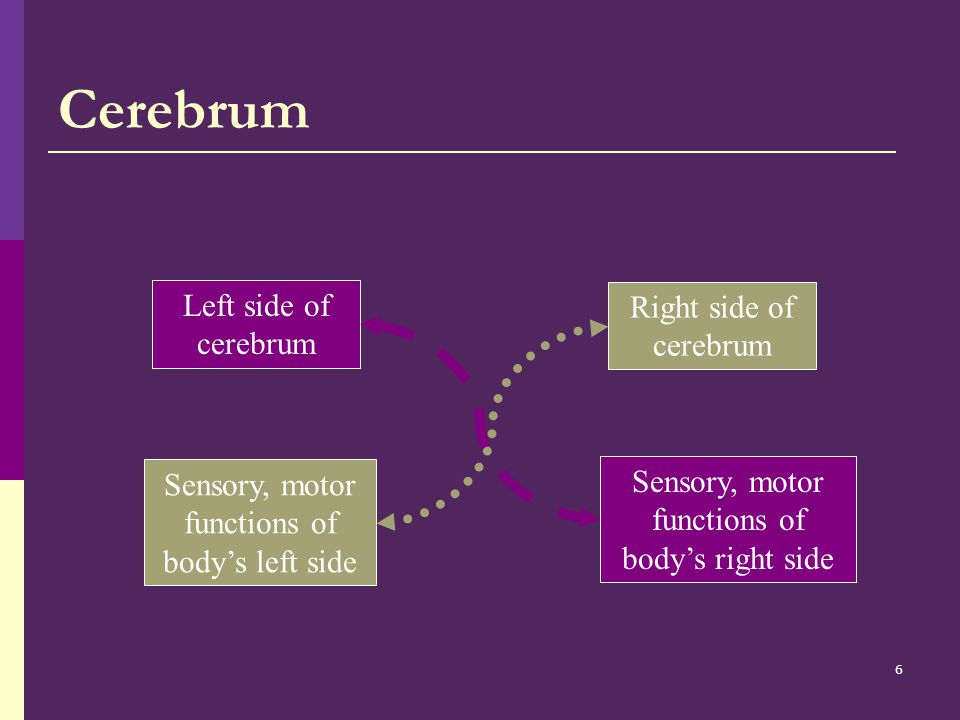 Cerebrum Left side of cerebrum Right side of cerebrum