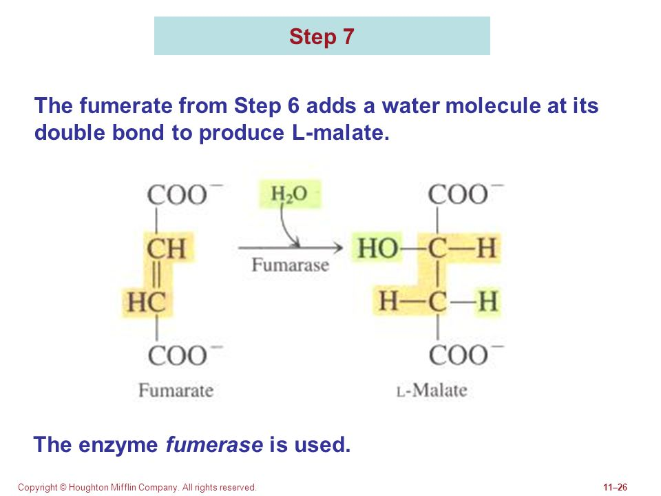 The enzyme fumerase is used.