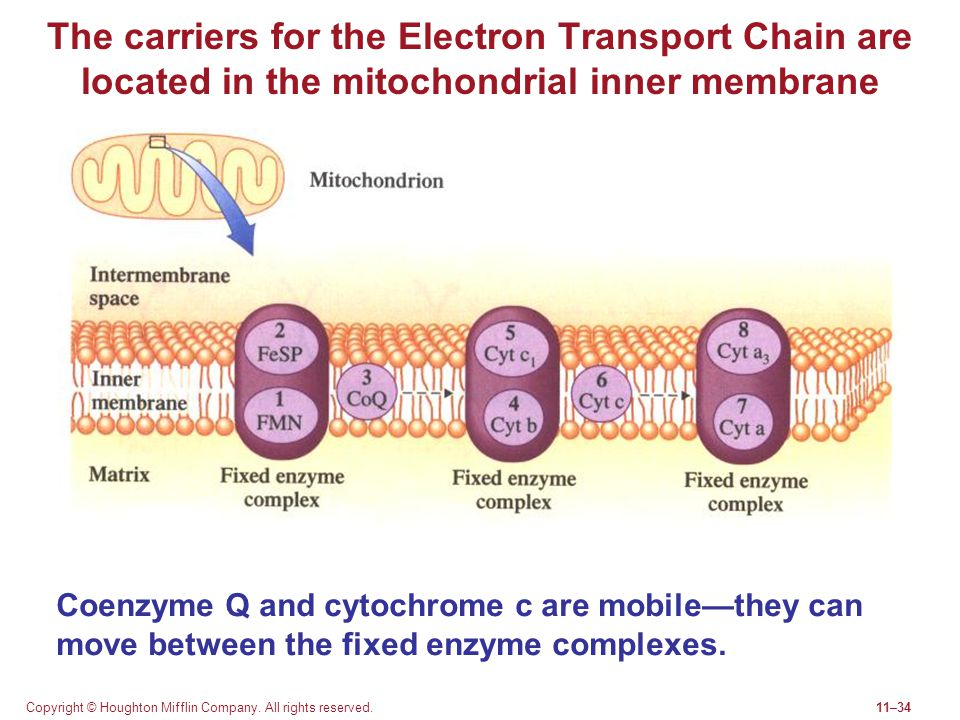 The carriers for the Electron Transport Chain are located in the mitochondrial inner membrane