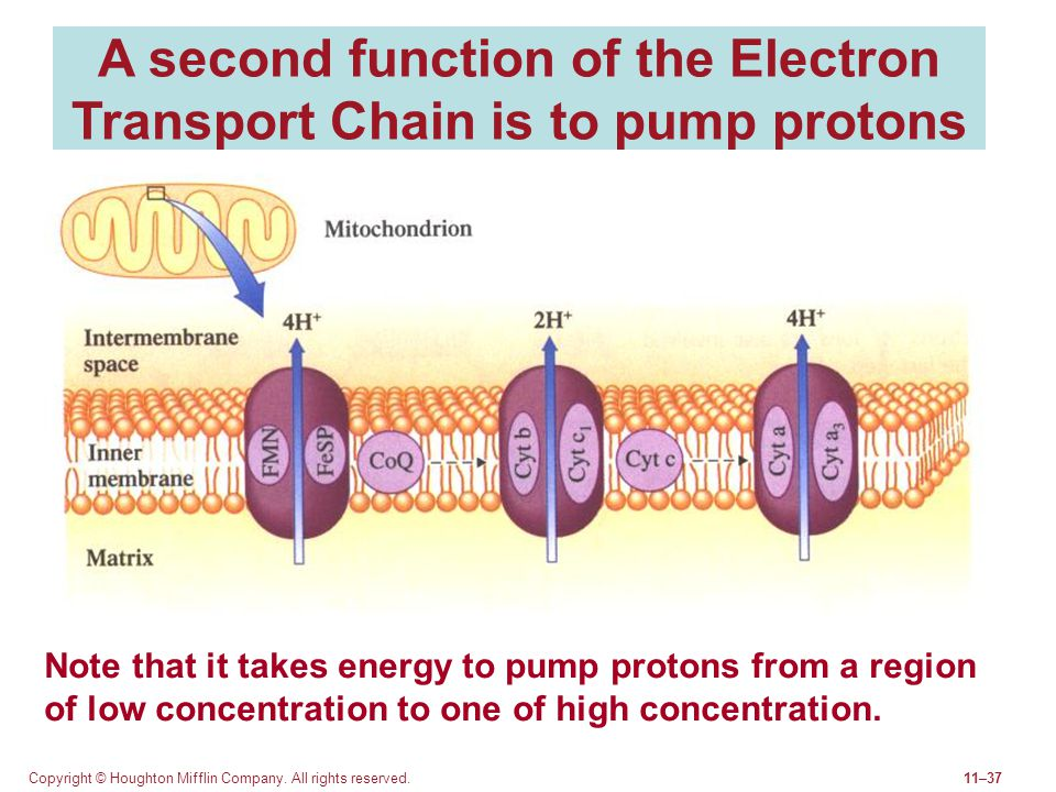 A second function of the Electron Transport Chain is to pump protons