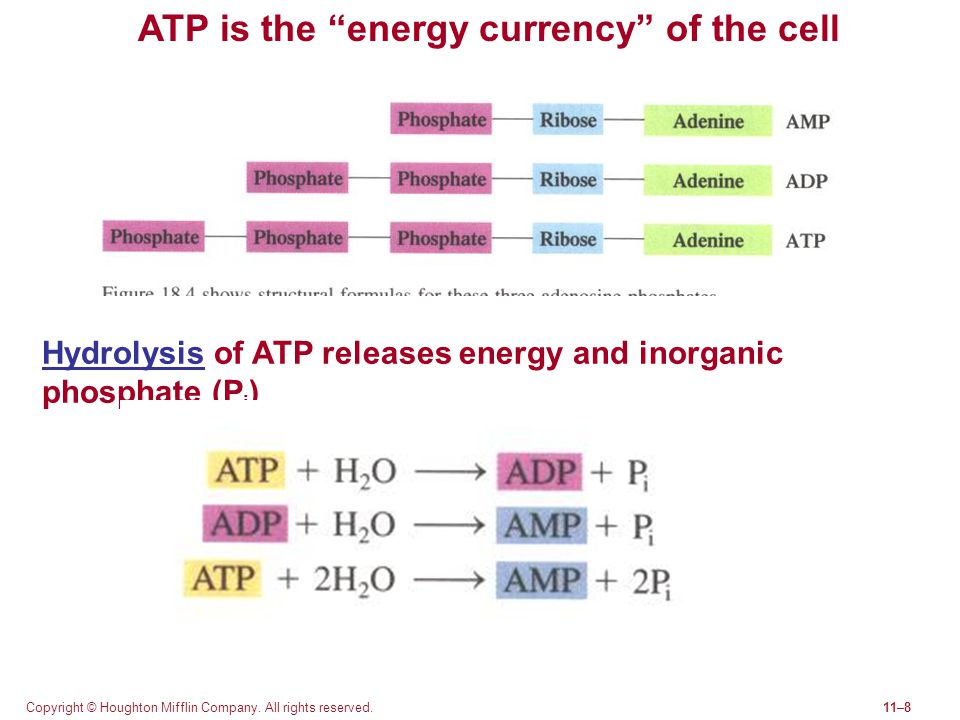 ATP is the energy currency of the cell