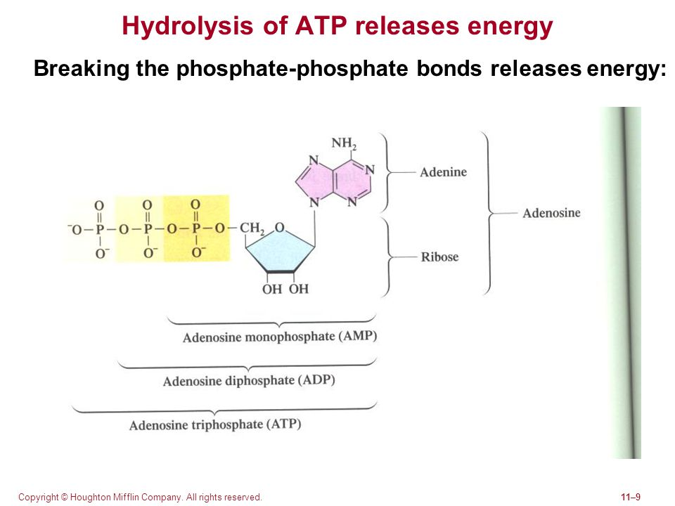 Hydrolysis of ATP releases energy