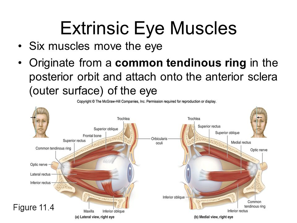 Extrinsic Eye Muscles Six muscles move the eye