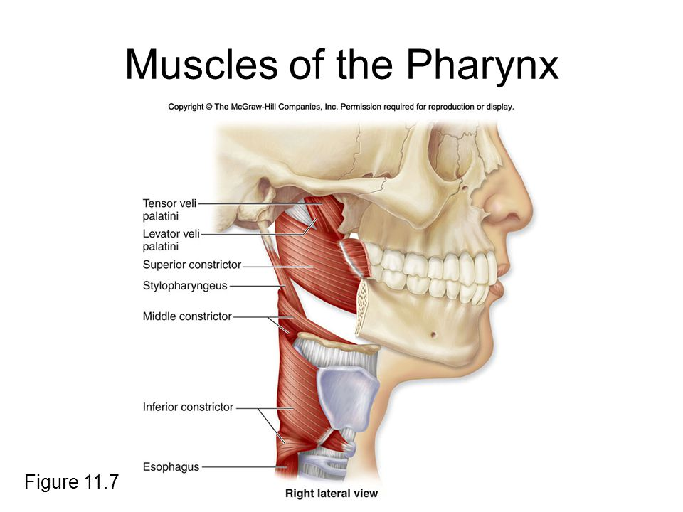 Muscles of the Pharynx Figure 11.7