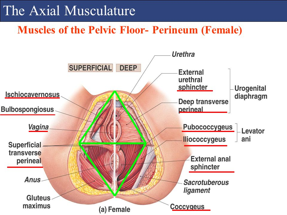 The Axial Musculature Muscles of the Pelvic Floor- Perineum (Female)