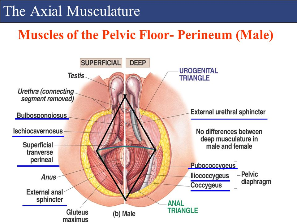 The Axial Musculature Muscles of the Pelvic Floor- Perineum (Male)