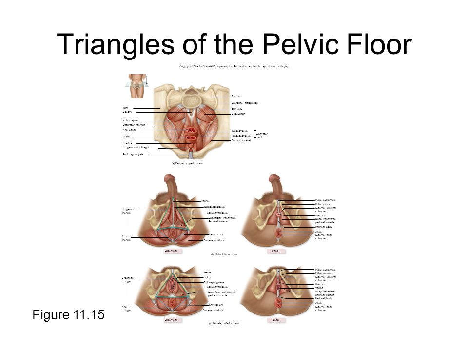 Triangles of the Pelvic Floor