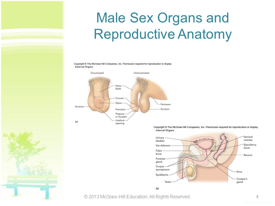 Male Sex Organs and Reproductive Anatomy