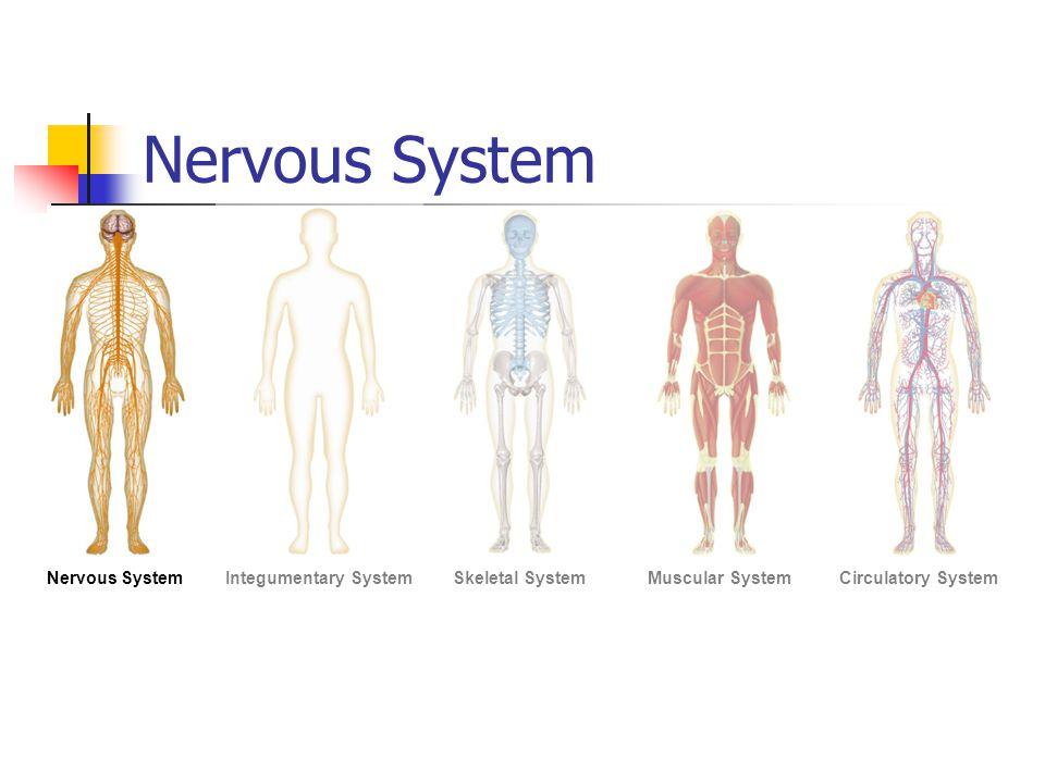 Nervous System Figure 35-2 Human Organ Systems Part I Section 35-1