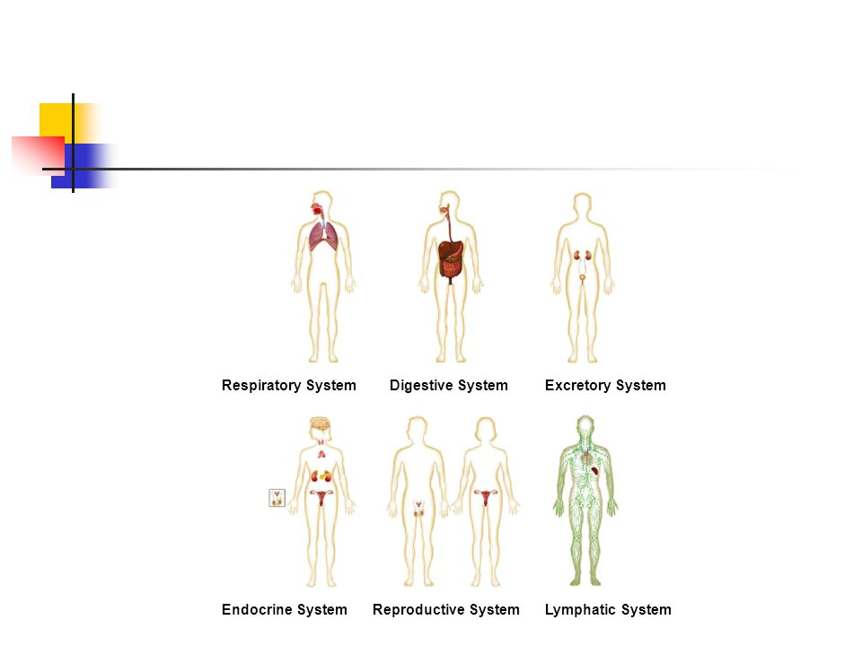 Figure 35-2 Human Organ Systems Part 2