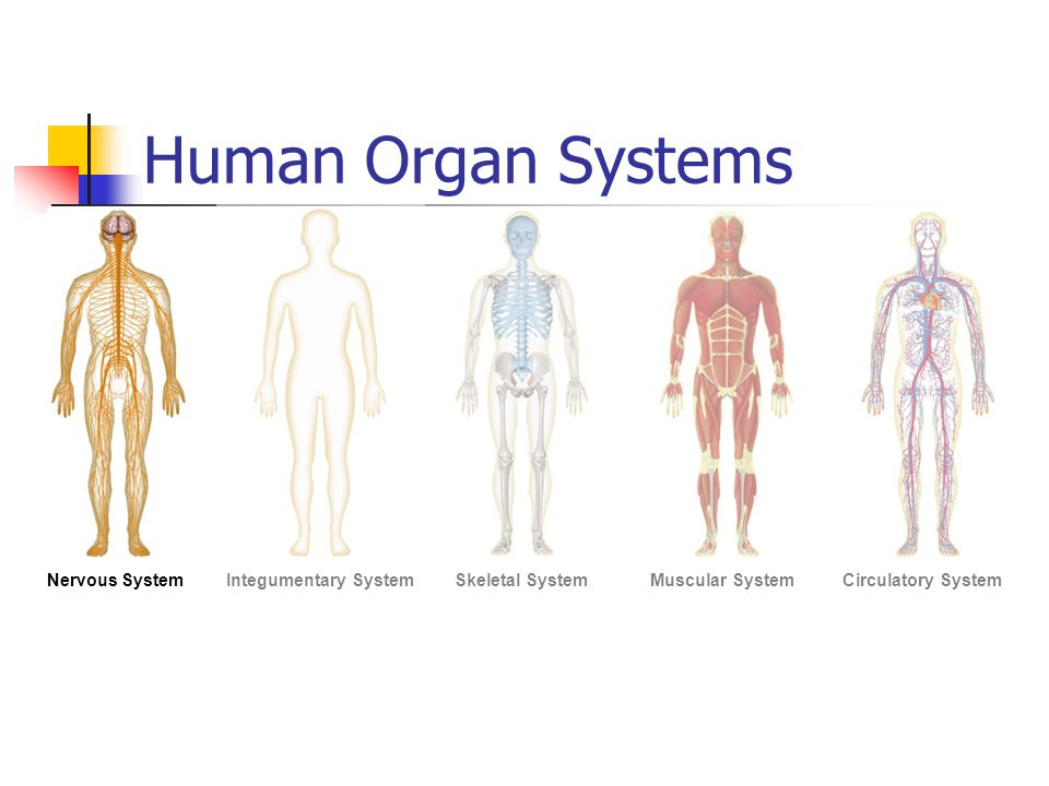 2 2 4 human body systems Human body systems study guide multiple choice •the _____ system is responsible for bringing food and oxygen to every cell in your body •the _____ system is responsible for carrying oxygen and carbon dioxide in and out of your.