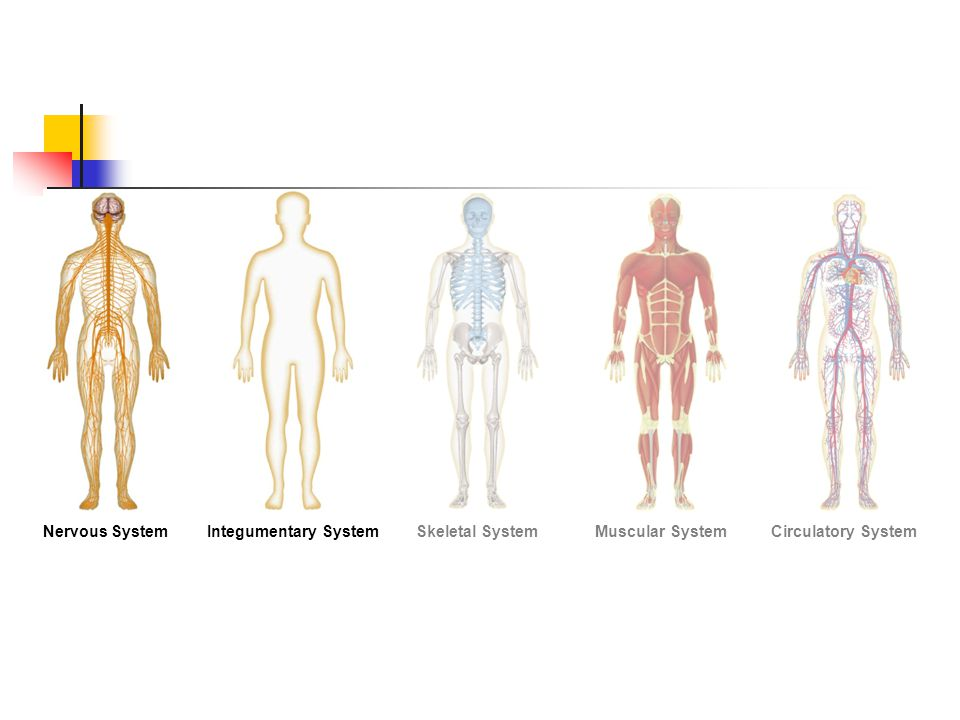 Figure 35-2 Human Organ Systems Part I