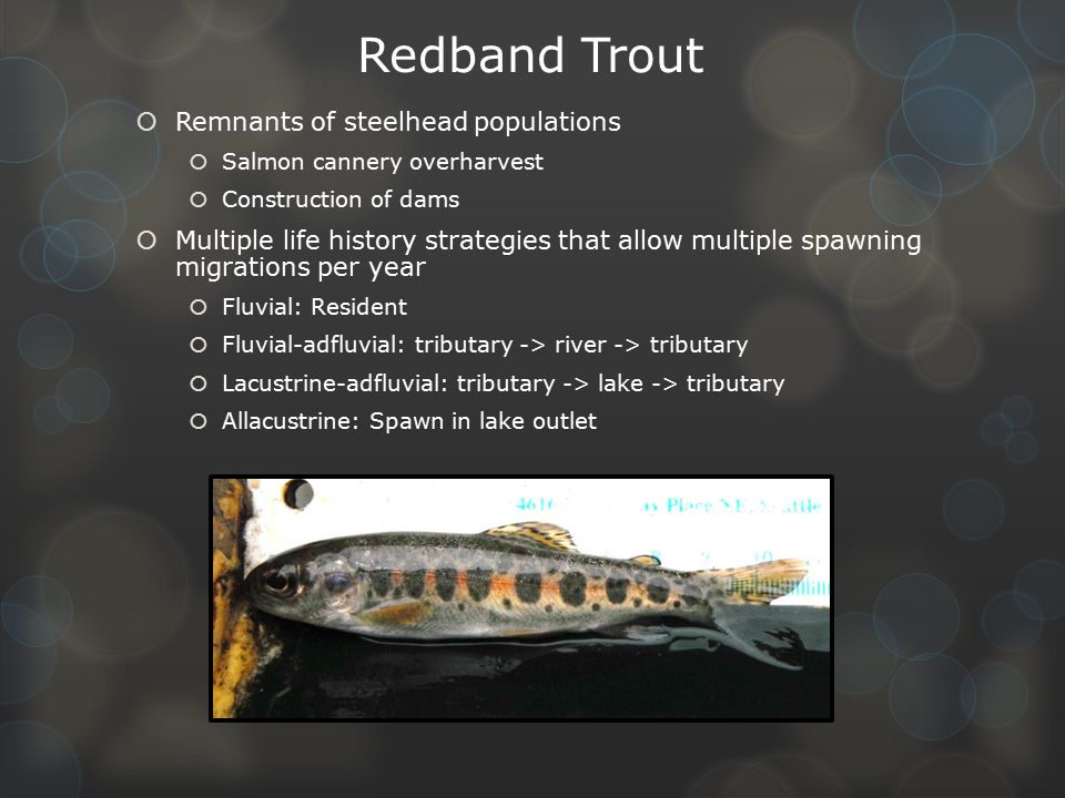 Redband Trout Remnants of steelhead populations