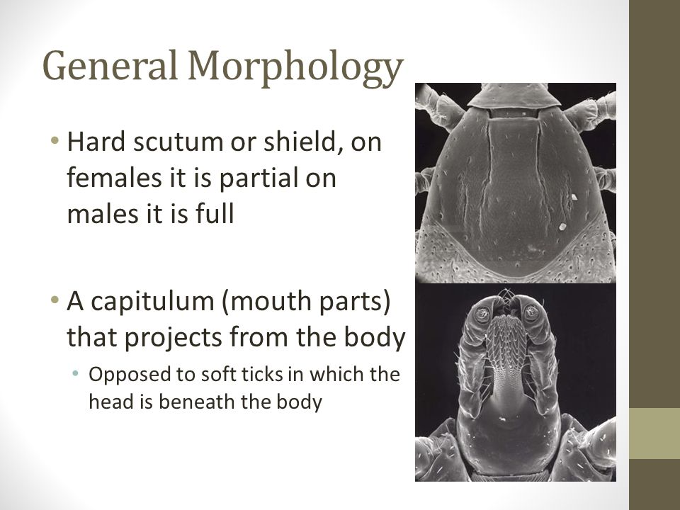 General Morphology Hard scutum or shield, on females it is partial on males it is full. A capitulum (mouth parts) that projects from the body.