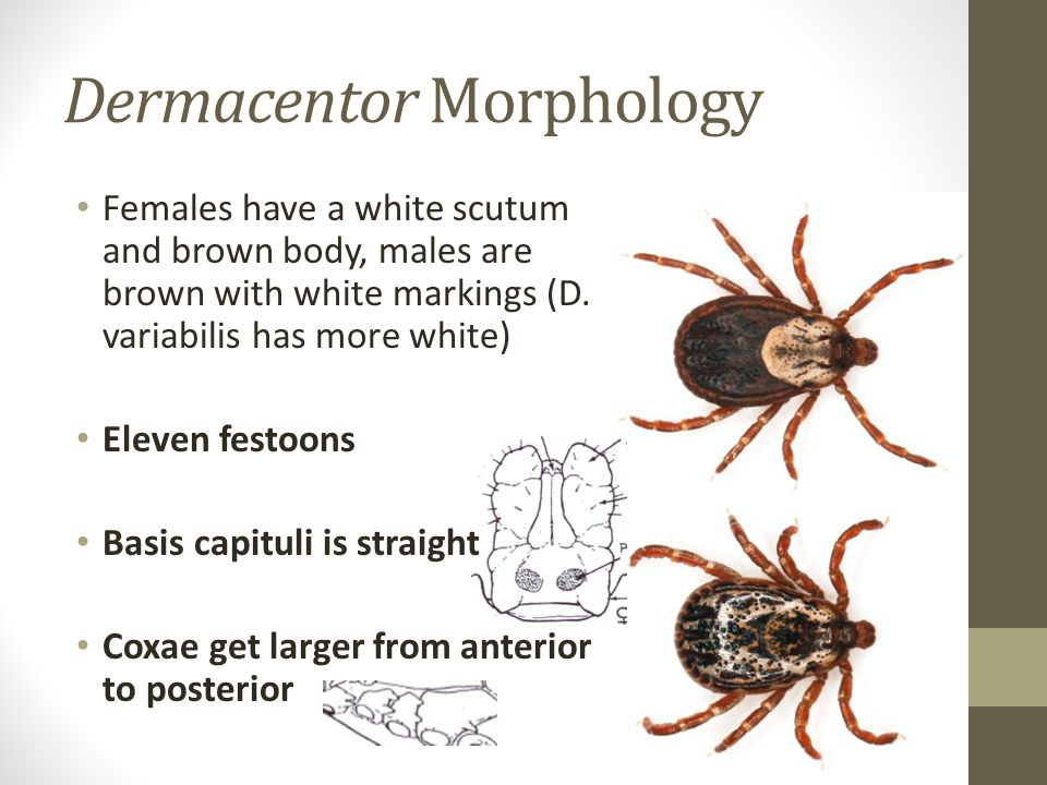 Dermacentor Morphology
