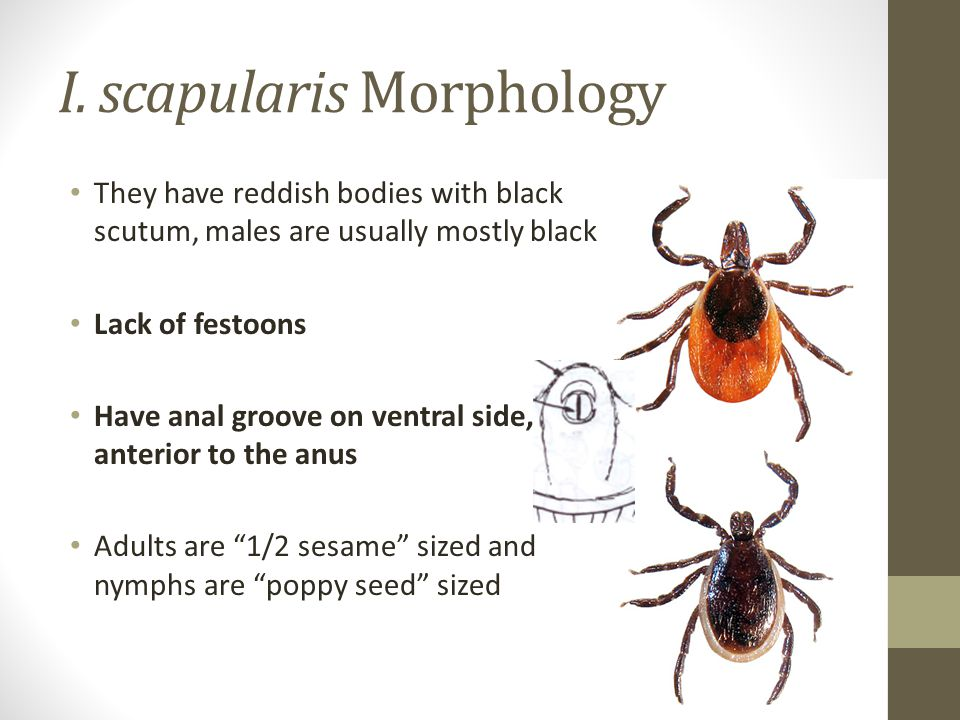 I. scapularis Morphology