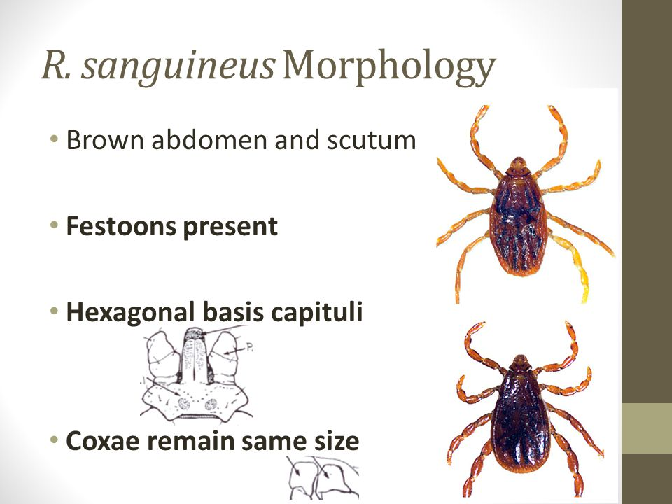 R. sanguineus Morphology