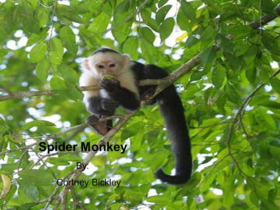 Spider Monkey By: Cortney Bickley