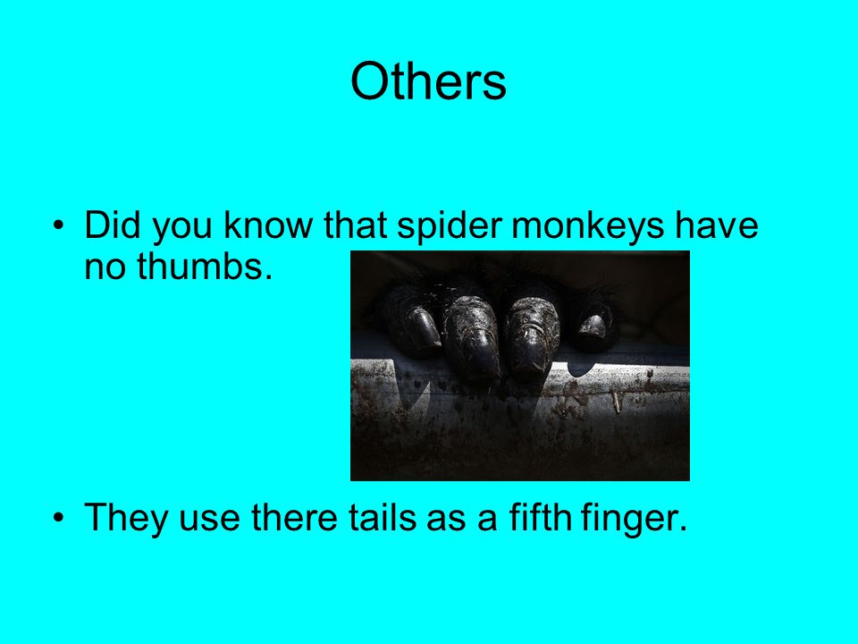 Others Did you know that spider monkeys have no thumbs.