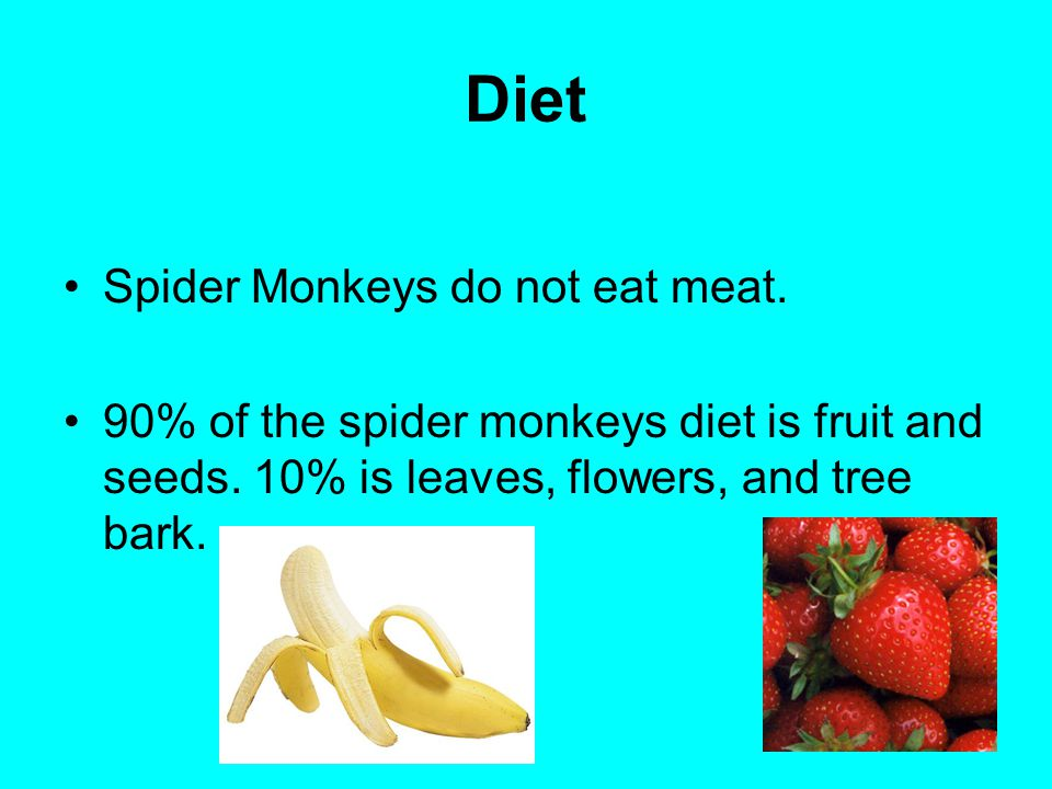 Diet Spider Monkeys do not eat meat.