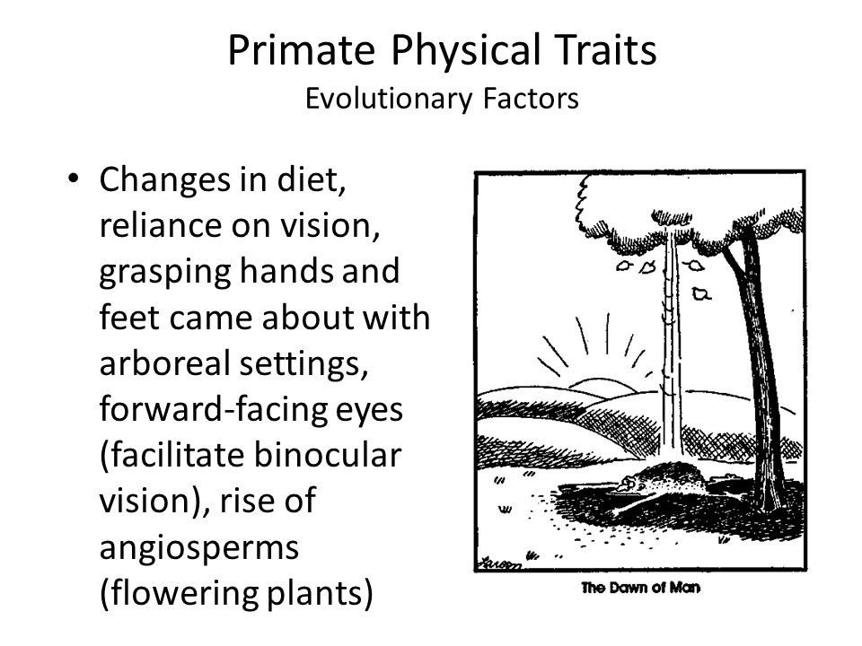 Primate Physical Traits Evolutionary Factors