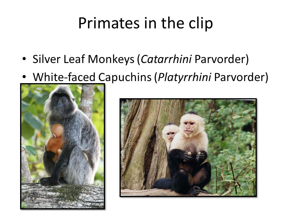 Primates in the clip Silver Leaf Monkeys (Catarrhini Parvorder)