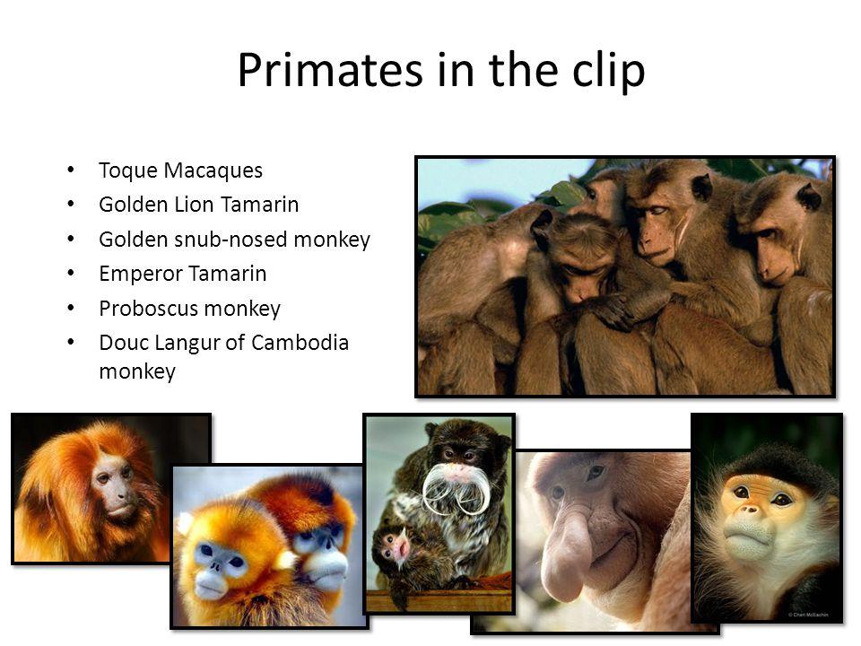 Primates in the clip Toque Macaques Golden Lion Tamarin