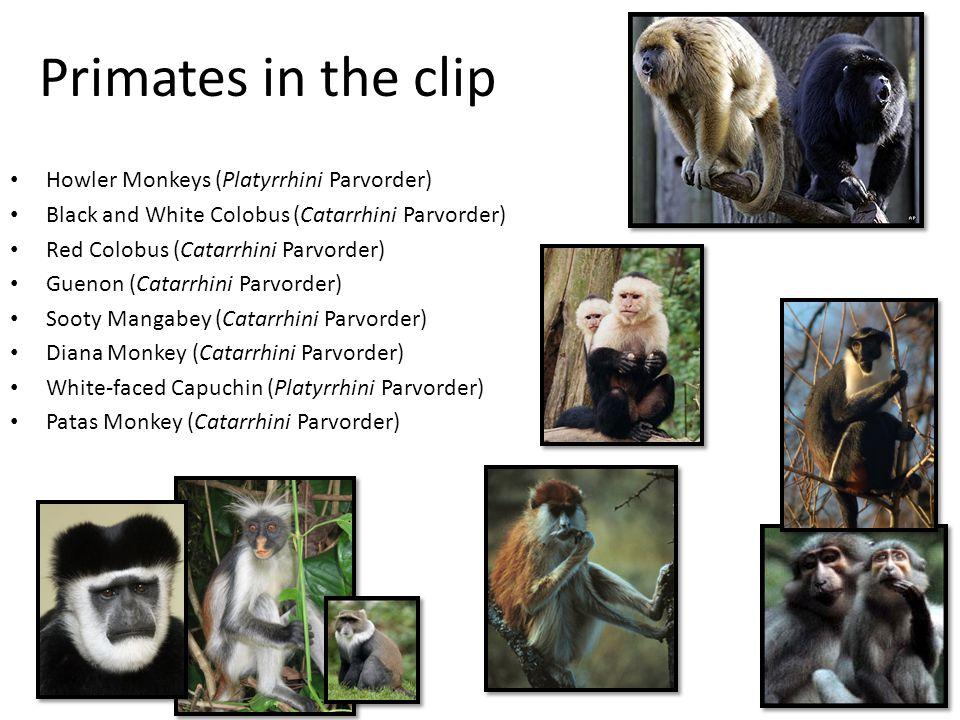 Primates in the clip Howler Monkeys (Platyrrhini Parvorder)
