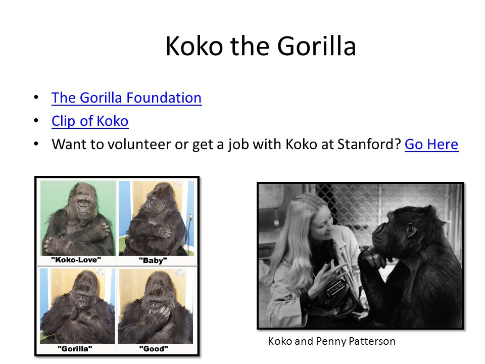 Koko the Gorilla The Gorilla Foundation Clip of Koko
