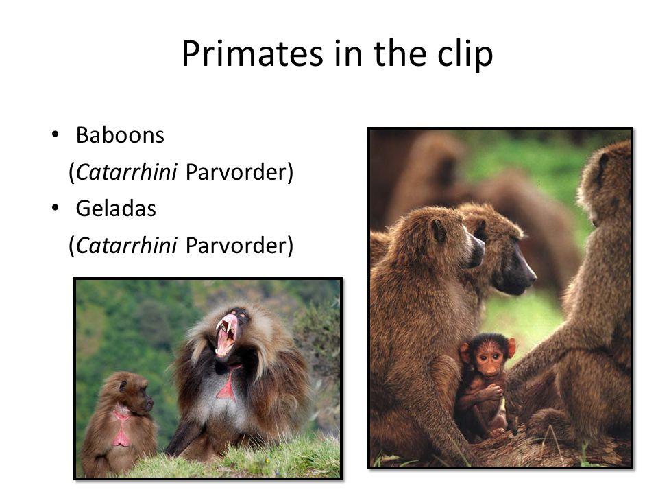 Primates in the clip Baboons (Catarrhini Parvorder) Geladas