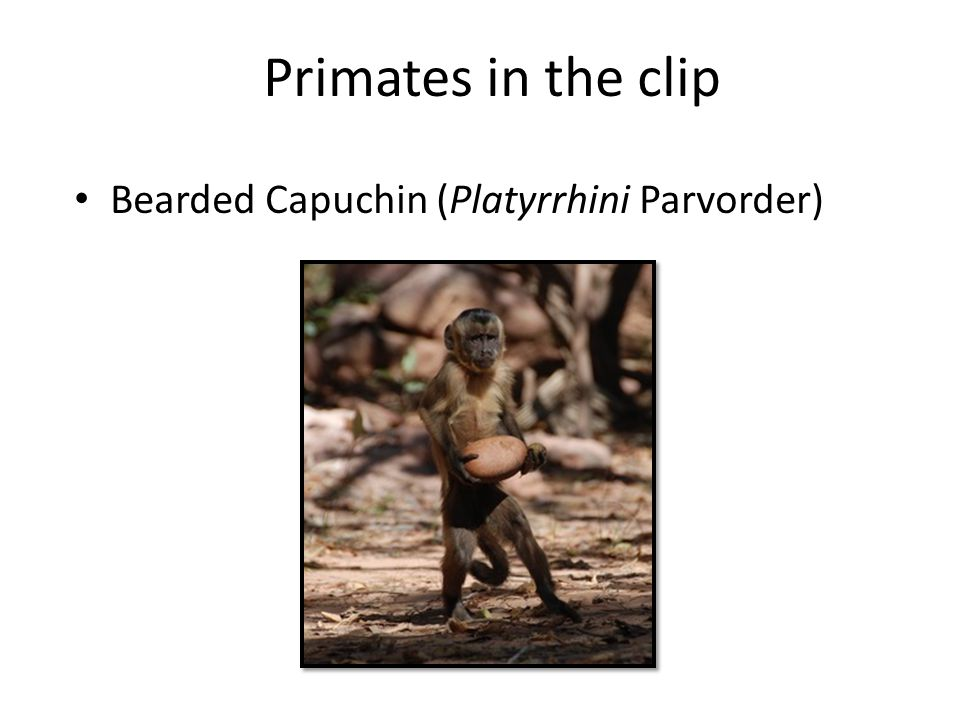 Primates in the clip Bearded Capuchin (Platyrrhini Parvorder)